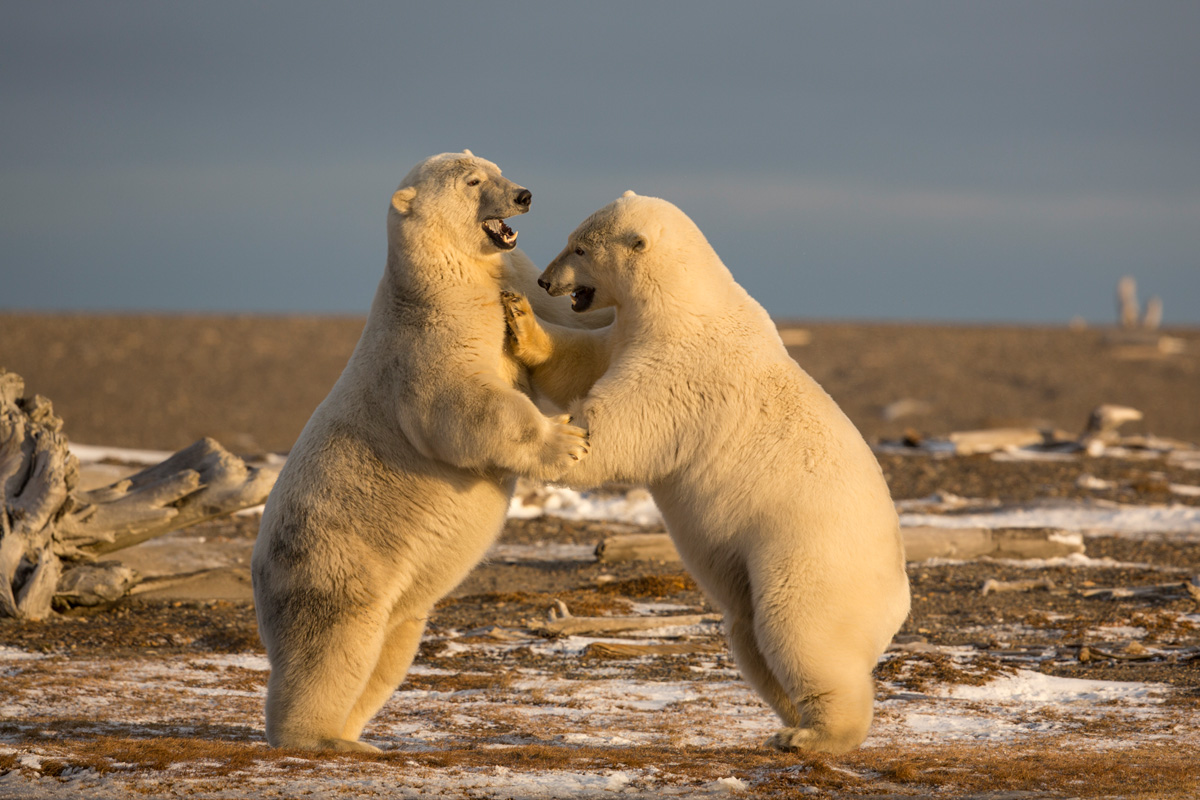 Arctic Alaska Photography Bear Tour