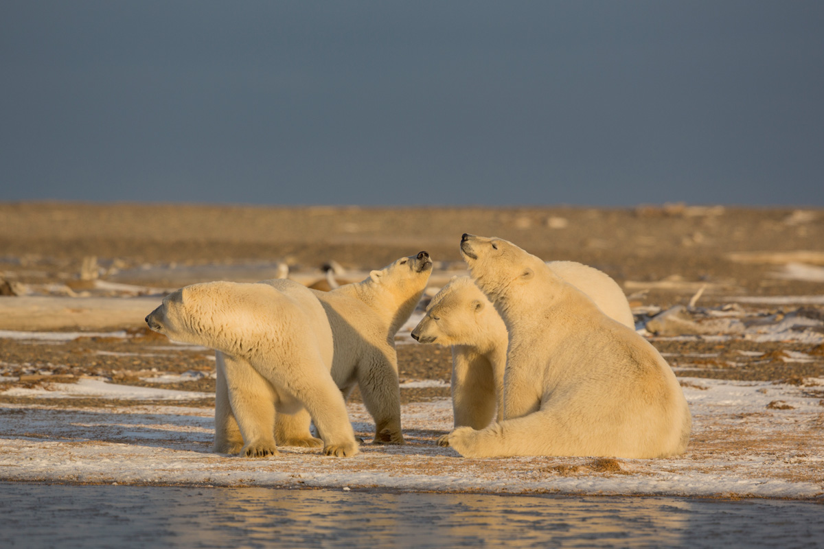 Arctic Alaska Photography Bear Tours