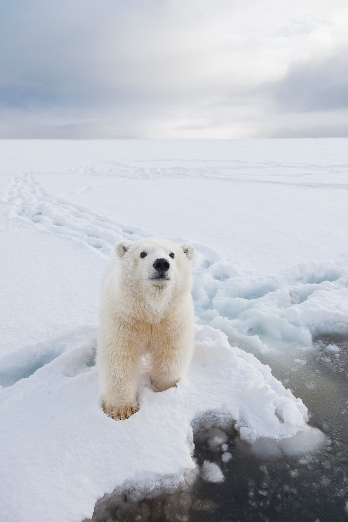Arctic Alaska Polar Bear Photo Tours