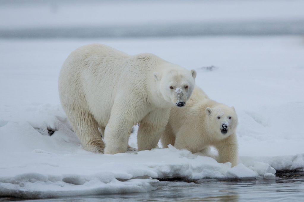 Polar Bear Tour From Fairbanks
