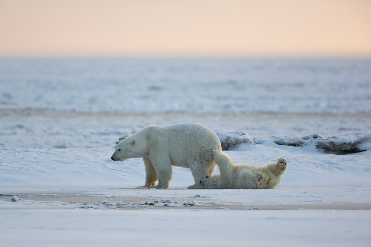 Polar Bear Photo Tours Kaktovik AK