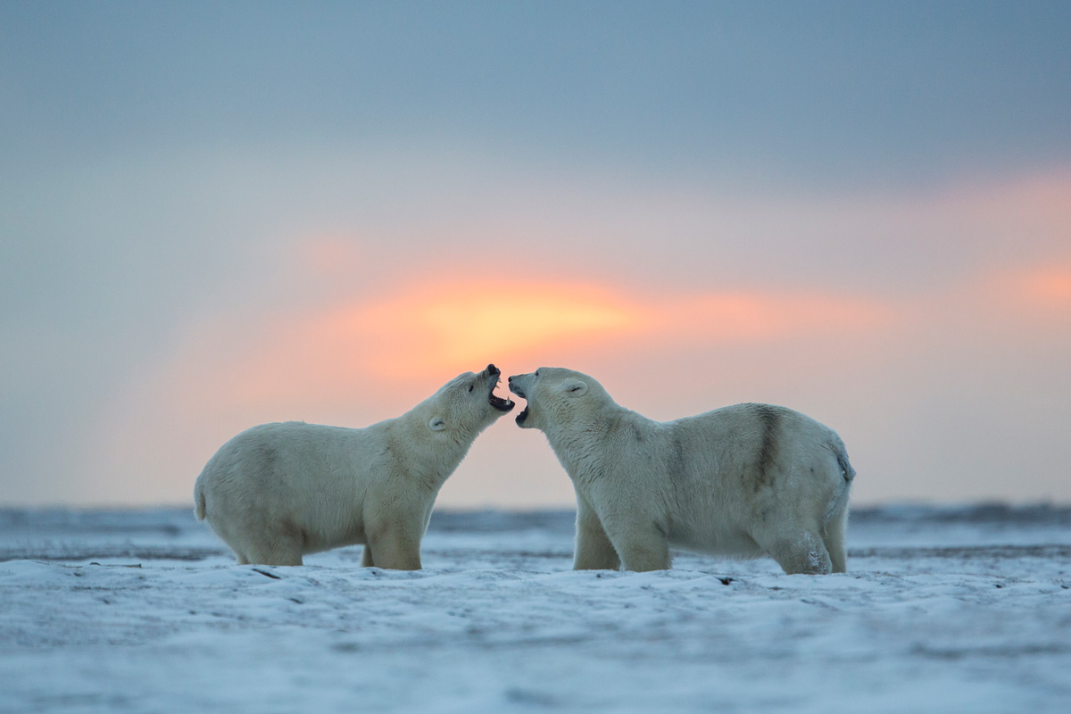 Polar Bear Photography Tour Kaktovik