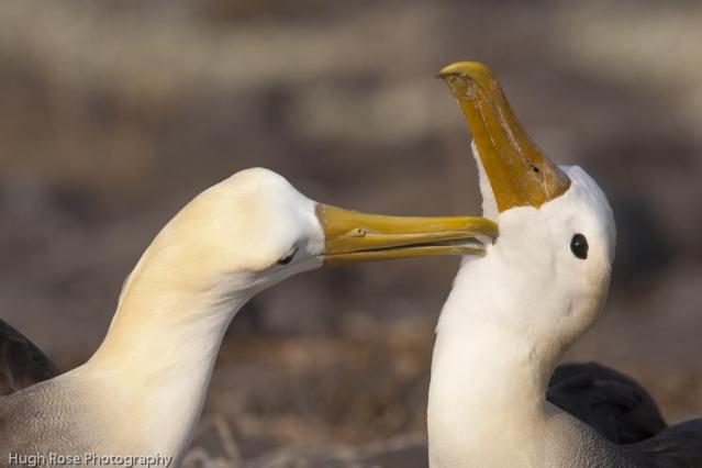 Albatross Espanola Island