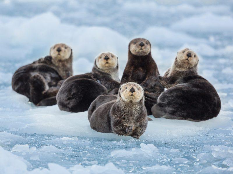 Grand AK Sea Otters