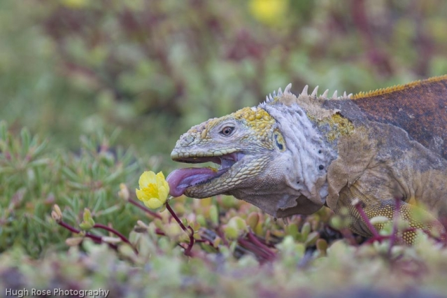 Land Iguana Eating Portulaca
