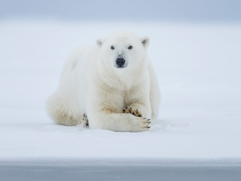 Polar Bear Photo Tours Arctic