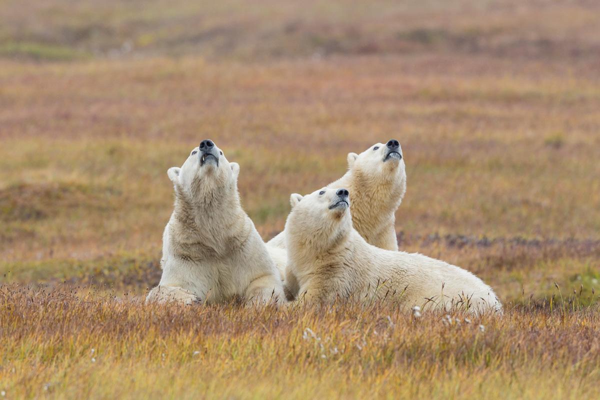 Alaska Arctic Bears Aurora