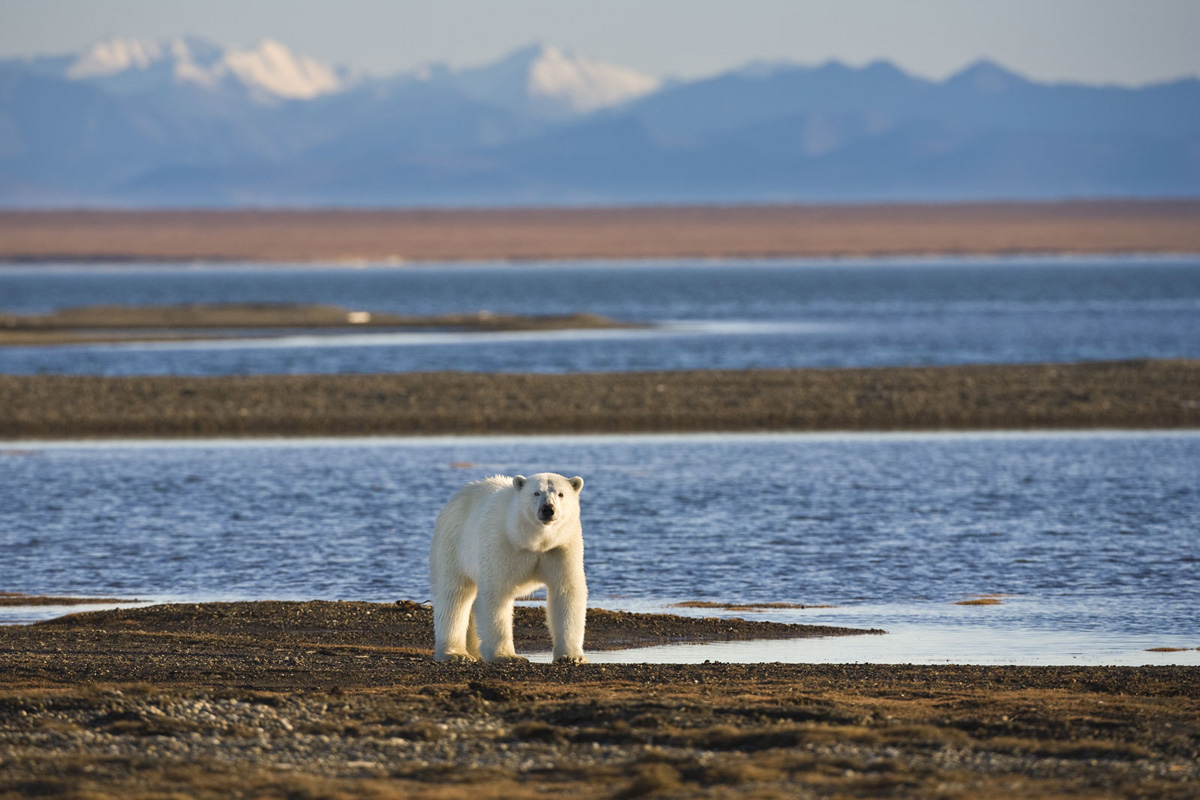 Alaska Arctic Northern Polar Bear