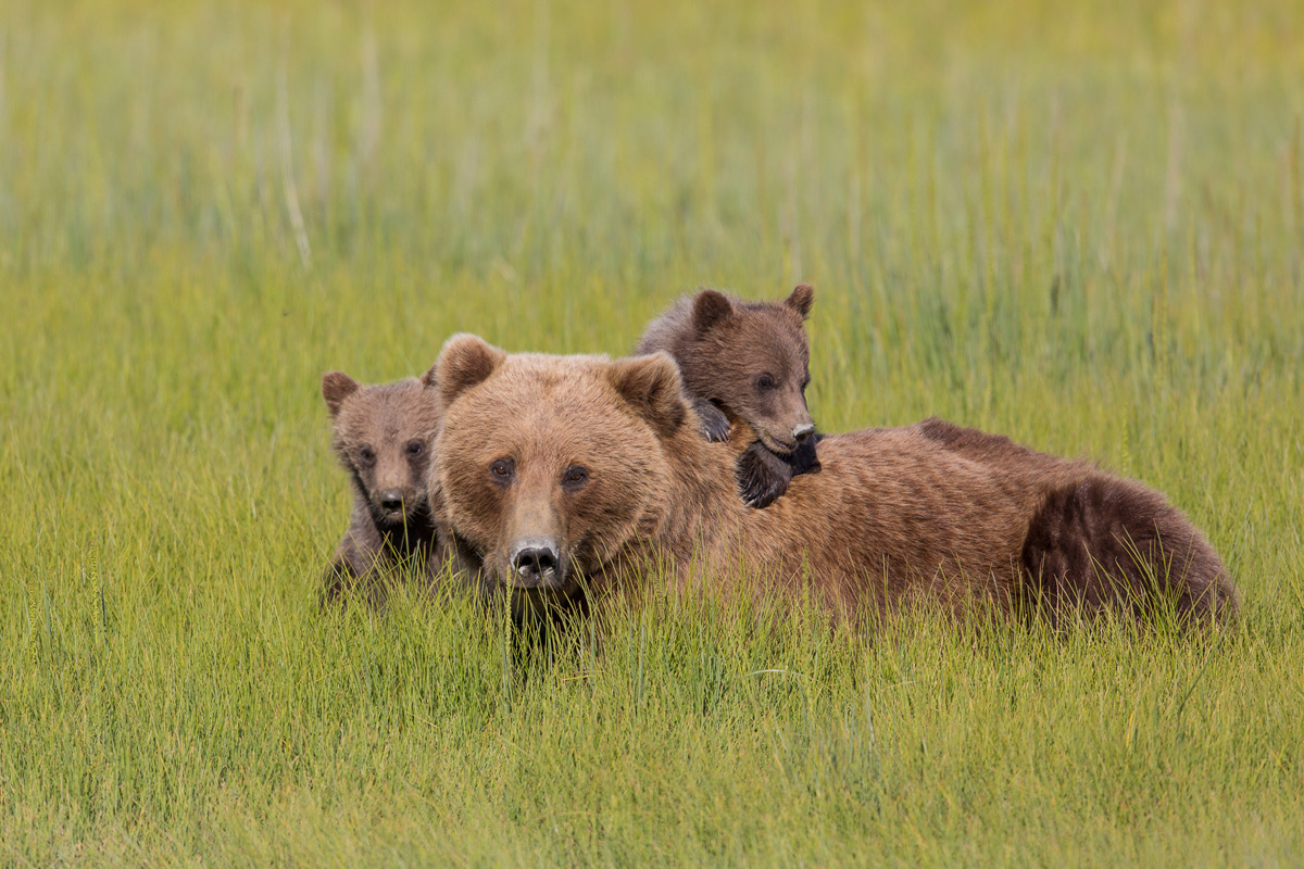 Alaska Brown Bear Photo Tours