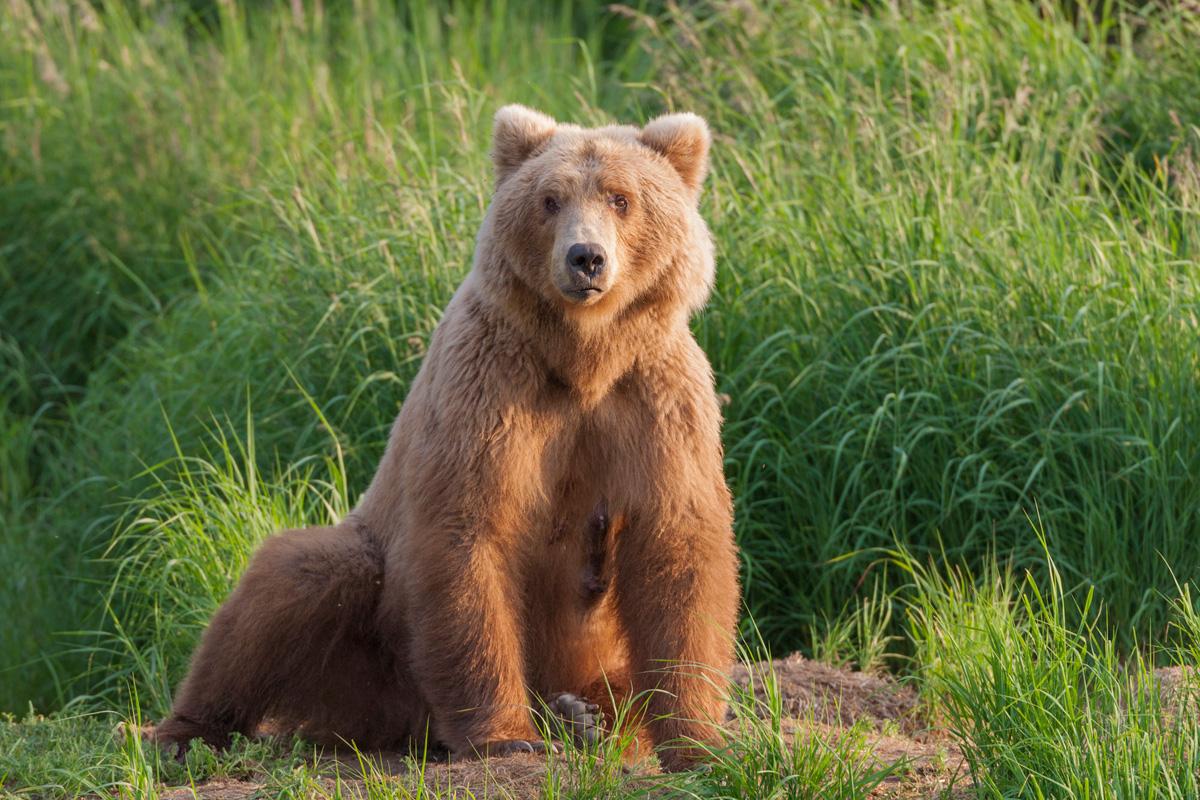 Alaska Costal Brown Bear AK