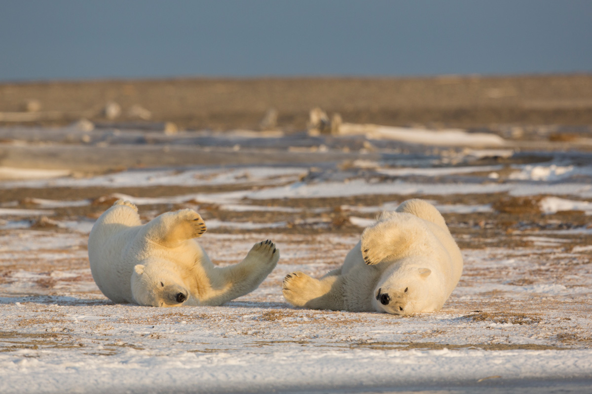 Alaskas Arctic Polar Bears Photography