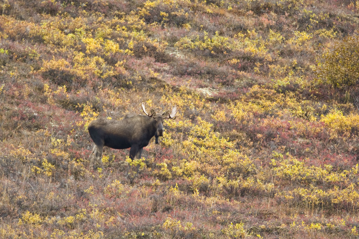 Alaska Moose Wildlife Arctic Tour