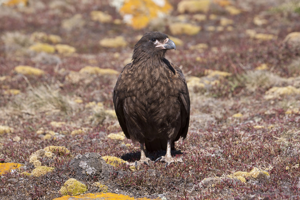 Falkland Islands Bird Photo Tour