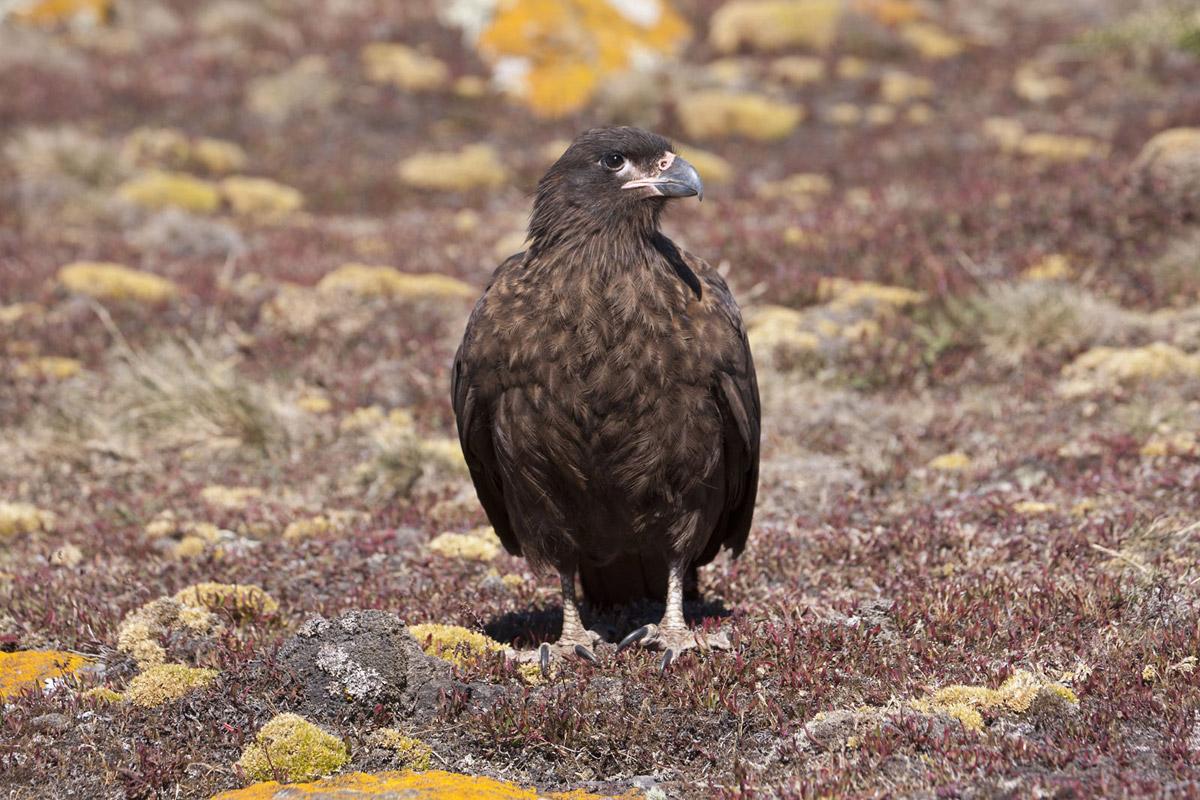 Falkland Islands Bird Photo Tour