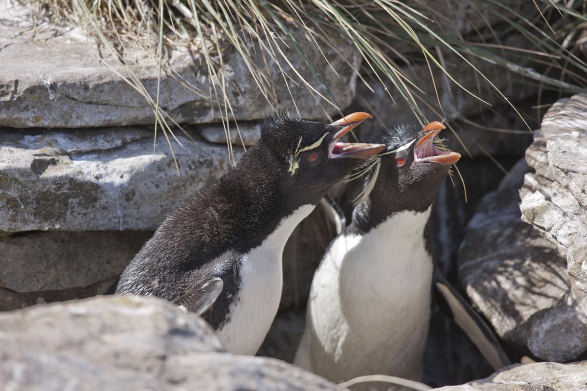 Falkland Islands Penguin