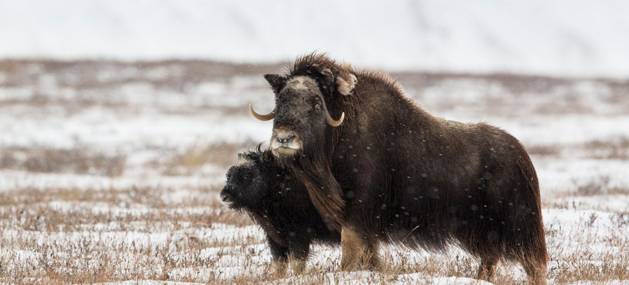 Musk Ox Late Autumn Photo Tour